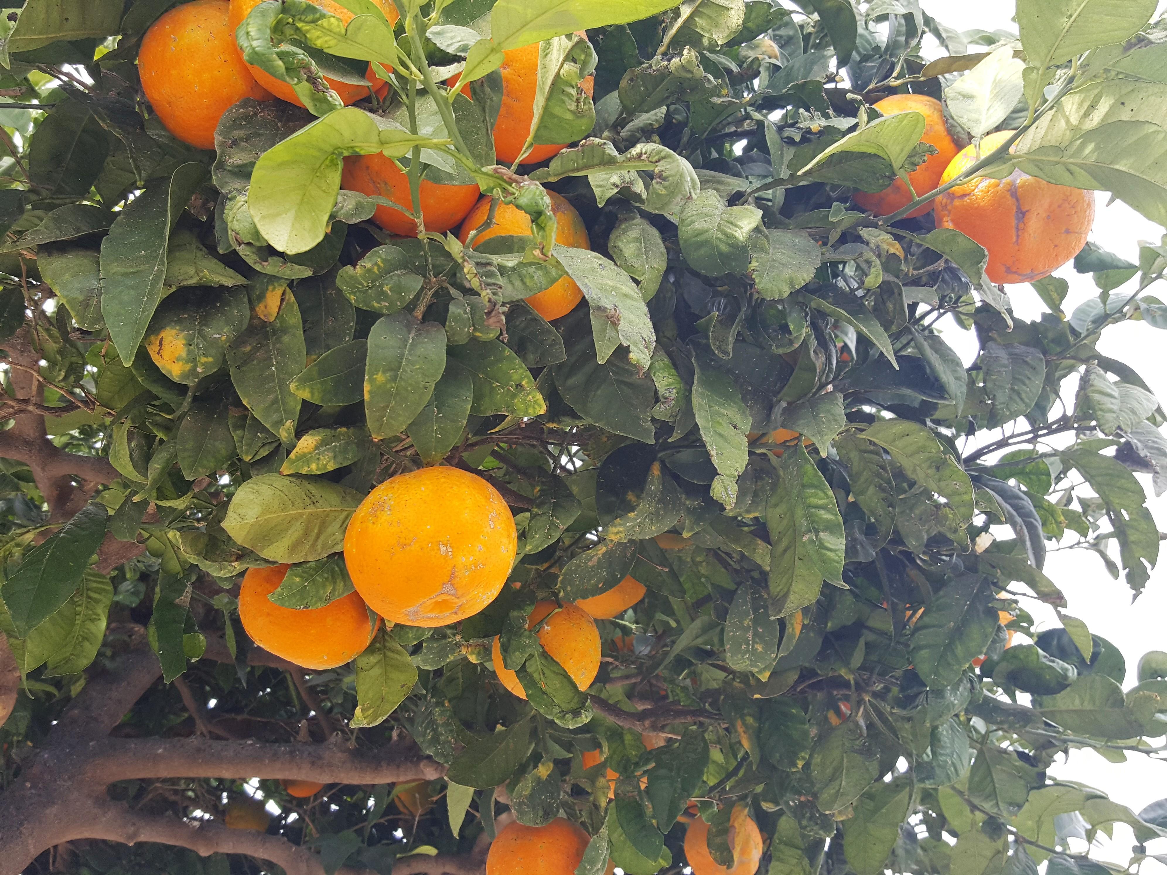 Hiszpańskie Pomarańcze w grudniu - Alicante